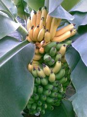 Банан комнатный карлик(кавендиш,  киевский карлик)