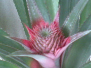 ананас карликовый комнатный