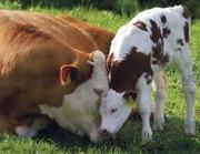 заменитель цельного молока для телят и свиней