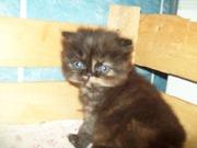 Продам котят породы перс