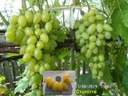 Черенки винограда-170 сортов и г. ф.