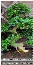Насіння бирючини японської / Ligustrum japonicum ,  ТМ OGOROD - 20 насі