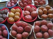 Продаю посадочный сортовой картофель