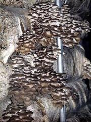 Выращивание грибов на дому.